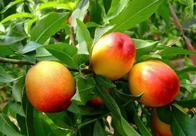 果树不施肥 等于瞎胡混,果园管理15大经典语录!太实用了!