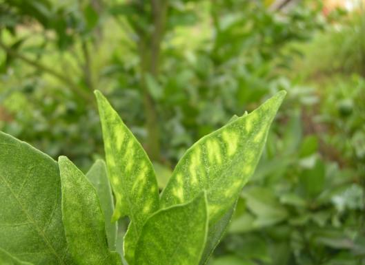 大棚蔬菜小体昆虫如何科学防治?